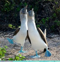 Galapagos Islands Birds Of A Feather Holy Cow